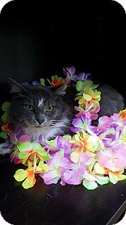 Russian Blue Cat for adoption in Albemarle, North Carolina - Emile
