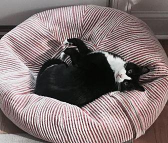 Domestic Shorthair Cat for adoption in Devon, Pennsylvania - Mittens