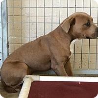 Adopt A Pet :: Groot - Lewisburg, TN