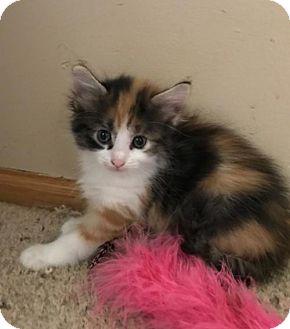 Domestic Shorthair Kitten for adoption in Princeton, Minnesota - Hokey***ADOPTION PENDING***
