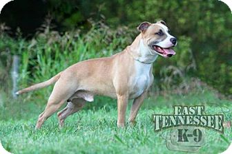 American Pit Bull Terrier/American Staffordshire Terrier Mix Dog for adoption in Harriman, Tennessee - Buddy - Adoption Pending!