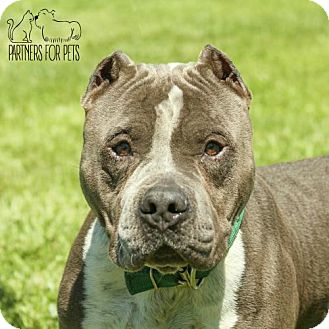 Pit Bull Terrier Dog for adoption in Troy, Illinois - Anthony Fostered (Beth)