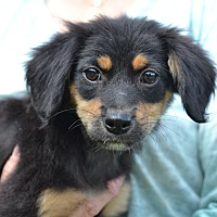 Adopt A Pet :: Amber - Fall Litter - Acworth, GA