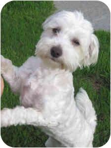 Bichon Frise Mix Dog for adoption in La Costa, California - Molly