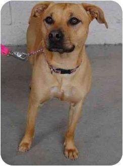 Labrador Retriever Mix Dog for adoption in San Diego, California - KT