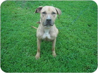Boxer/Hound (Unknown Type) Mix Dog for adoption in Milaca, Minnesota - Bell