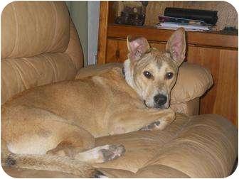 Collie/Labrador Retriever Mix Dog for adoption in Brooksville, Florida - ODIE- Adopted!