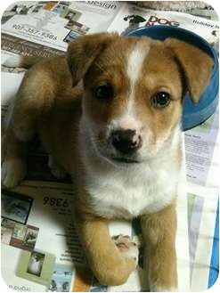 Shepherd (Unknown Type)/American Pit Bull Terrier Mix Puppy for adoption in Wasilla, Alaska - Ronan