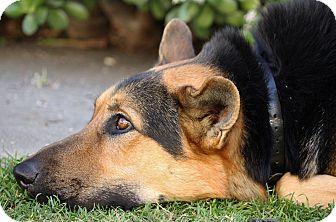 German Shepherd Dog Dog for adoption in Los Angeles, California - Sawyer von Sontra