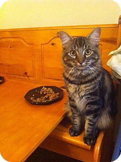 Maine Coon Cat for adoption in Marietta, Georgia - Dylan