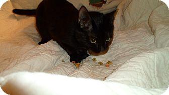 American Shorthair Cat for adoption in Hazard, Kentucky - Molly