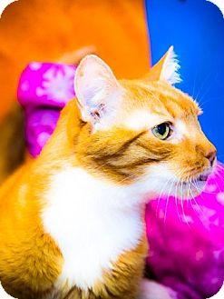 Domestic Shorthair Cat for adoption in Freeport, New York - Phillip