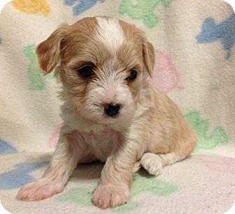 Maltese Mix Puppy for adoption in Bridgeton, Missouri - Ale