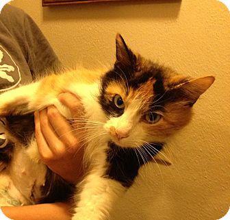 Domestic Mediumhair Kitten for adoption in Troy, Ohio - Santana