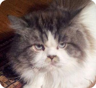 Persian Cat for adoption in Columbus, Ohio - Calvin