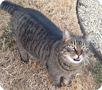 Domestic Shorthair Cat for adoption in Sacramento, California - Tiger