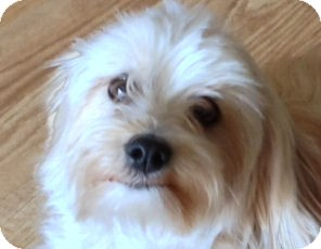 Maltese/Terrier (Unknown Type, Small) Mix Dog for adoption in Vancouver, Washington - Darla