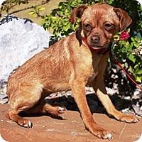 Adopt A Pet :: Bobbin - Gilbert, AZ