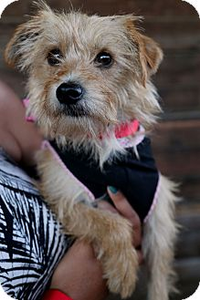 Terrier (Unknown Type, Small) Mix Dog for adoption in Covington, Washington - Cricket-adoption pending