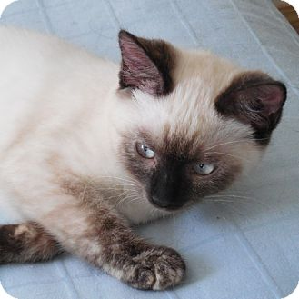 Siamese Kitten for adoption in Tillamook, Oregon - Miss EllieRose