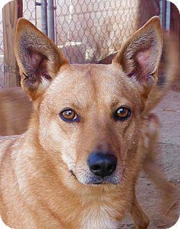 German Shepherd Dog/Labrador Retriever Mix Dog for adoption in Fowler, California - Stassi