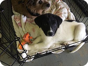 Border Collie Mix Puppy for adoption in Eddy, Texas - Sparkle