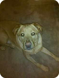 Labrador Retriever/Labrador Retriever Mix Dog for adoption in Decatur, Georgia - Elvis (Guest) URGENT!!!