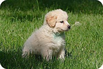 Pomeranian/Sheltie, Shetland Sheepdog Mix Puppy for adoption in Pennigton, New Jersey - Alba