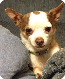 Chihuahua Mix Dog for adoption in Las Vegas, Nevada - Spock