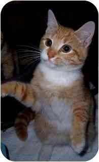 American Shorthair Kitten for adoption in Spencer, New York - Scarlet