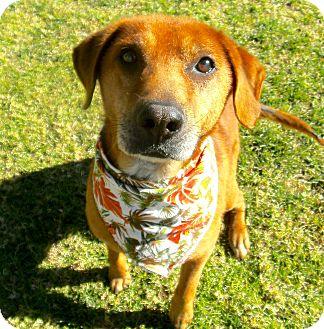 Labrador Retriever/Chow Chow Mix Dog for adoption in El Cajon, California - Big Red