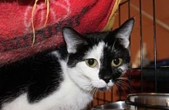 Domestic Shorthair Cat for adoption in Louisville, Kentucky - Piper