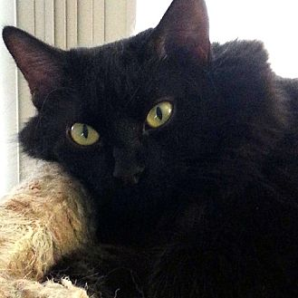 Domestic Mediumhair Cat for adoption in Chino Hills, California - Abby