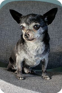 Chihuahua Dog for adoption in Framingham, Massachusetts - Charlie