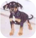 Rat Terrier Mix Puppy for adoption in Tahlequah, Oklahoma - Nelson