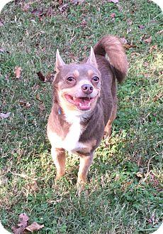 Chihuahua/Schipperke Mix Dog for adoption in Va Beach, Virginia - Kiko