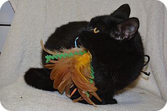 Domestic Shorthair Cat for adoption in Jurupa Valley, California - Shanta