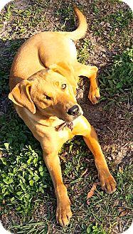 Labrador Retriever Mix Dog for adoption in Jacksonville, Florida - Beezus