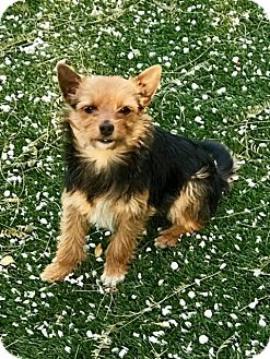 Norfolk Terrier Mix Dog for adoption in Henderson, Nevada - Blake