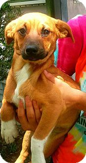 Basset Hound/Dachshund Mix Puppy for adoption in Osteen, Florida - Jughead