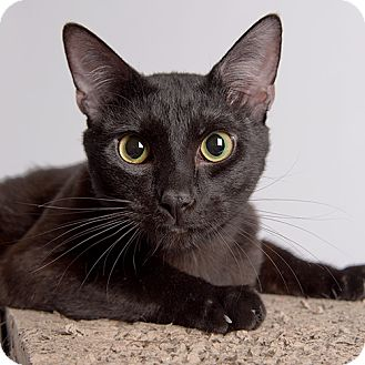 Domestic Shorthair Cat for adoption in Wilmington, Delaware - Mr. Mom