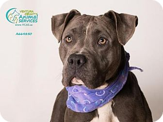 Pit Bull Terrier Dog for adoption in Camarillo, California - *GRACIE