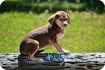 Chihuahua Puppy for adoption in Lebanon, Missouri - Riley
