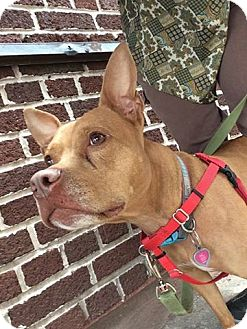 Pharaoh Hound/Hound (Unknown Type) Mix Dog for adoption in Brooklyn, New York - Kimchi