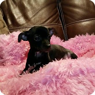Chihuahua Mix Puppy for adoption in Hamilton, Ontario - Jewel