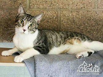 Domestic Mediumhair Cat for adoption in Irvine, California - BUDDY