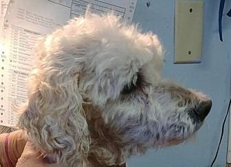 Poodle (Miniature) Dog for adoption in West Columbia, South Carolina - Stanley