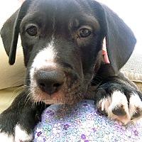 Adopt A Pet :: Dexter - Houston, TX