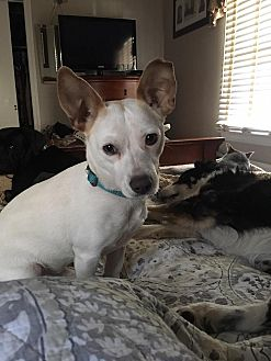 Jack Russell Terrier Mix Dog for adoption in Valley Stream, New York - Buddy