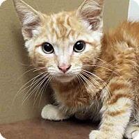 Domestic Shorthair Kitten for adoption in Oswego, Illinois - Sunny